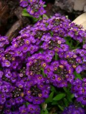 60+ Violet Queen Fragrant Alyssum / Re-Seeding Flower Seeds