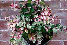 Snow bush (Breynia disticha) 'Roseo-picta' x 1 plant