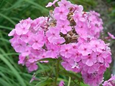 Pflanze/Blume/Staude Phlox pink