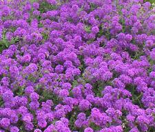 MOSS VERBENA GROUND COVER Verbena Tenuisecta - 2,200 Bulk Seeds