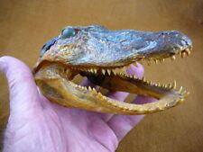 (G-Def-231) Deformed Gator short jaw ALLIGATOR Aligator HEAD teeth TAXIDERMY