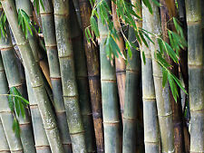 100+ Fresh Giant Bamboo Seeds with instructions - Dendrocalamus Asper