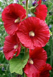 Cottage garden Alcea Rosea Red hollyhock 15 seeds great for bees