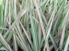 PHALARIS ARUNDINACEA VARIEGATA FEESEY RIBBON GRASS  RHS AGM GARDEN CONTAINER