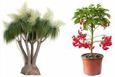 Herbst Aktion Zimmerblumen Spar-Set - Zimmerpflanzen Elefantenfuß und Spitzblume