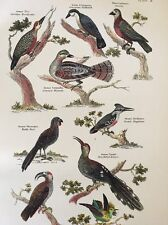 1868 Bird Print Antique Color Plate Woodpecker Kingfisher ++