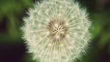 Dandelion seeds (12 blow balls with the seeds and wisps) approximately 600 seeds