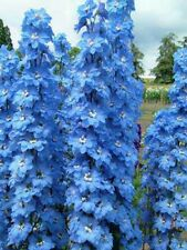 Delphinium x cultorum Magic Fountain Sky Blue/White x 6 Plug Plants