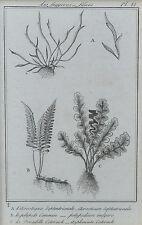 Antigua, gerahmter plantas-grabado-helecho acrosticum, Polypodium, Asplenium