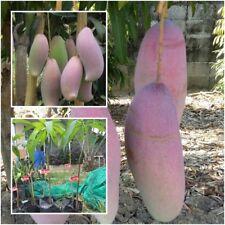 "Mango Tree Plant Grafted ""Nga Chang Daeng"" Exotic Fruit Tropical Thailand 20''"