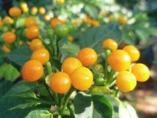 25 Graines de Piment Aji Charapita - Piment le plus cher du monde - méthode Bio