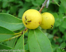 Yellow Lemon Guava -Cattley Guava 30 Fresh Seeds,Free shipping, Rare Fruit Seeds