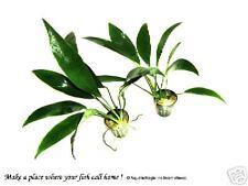 Anubias Lanceolata x 1 rhizome ( FREE Ship !) INV
