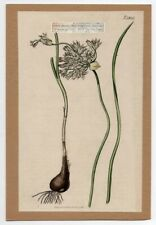 Wild Onion Curtis Botanical Flower 1816 Hand Colored Engraving