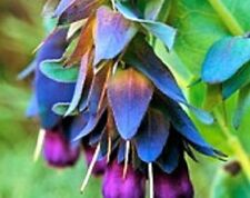 25+ CERINTHE BLUE SHRIMP PRIDE OF GIBRALTAR FLOWER SEEDS / SELF-SEEDING