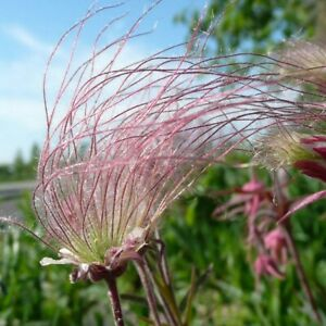 Geum triflorum Prairie Smoke Kernels 50 seeds