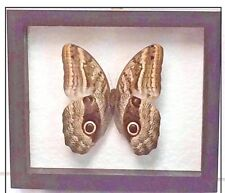 REAL OWL BUTTERFLY, CALIGO IDOMENEUS, IN DOUBLE-GLASS BLACK FRAME,PERU,TAXIDERMY