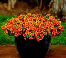 100 Pcs Calibrachoa 'Kabloom Crave Sunset' Vigorous Petunia Seeds