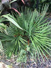 Trachycarpus wagnerianus x T.nanus Hybrid seeds X30