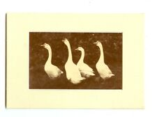 """Photograph Of A Group Of 4 Geese 5"""" X 7"""" Matted"""