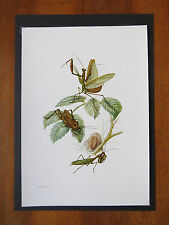 VINTAGE PRINT OF PRAYING MANTIS EDUCATIONAL SCHOOL CHART INSECT ENTOMOLOGY 1955