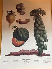 Vintage Vegetable Art Print ALBUM VILMORIN Paris Garden Kitchen 19X13 Large #15