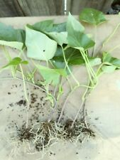 "4 rooted 4"" to 8 "" Sweet purple yam Rare Plants -organic.Grow your own foods."