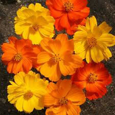 Cosmos Mix -  310 seeds - Cosmos Sulphureus - ANNUAL FLOWER