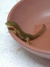 New listing Live Salamander amphibian Adult Pond Aquatic Pet Central Newt Missouri Life Pet