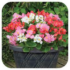 Begonia President Mixed Mini Plug Plants x 24 For Potting On