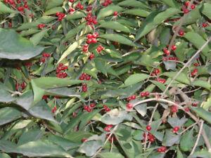 Maacks Heckenkirsche Lonicera maackii Pflanze 15-20cm Baum-Heckenkirsche Rarität