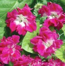 Japanese Ruffled Morning Glory Seeds Pink Flowers Climbing Vine Ipomoea Nil