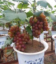 Rare Grapes Bonsai Tree seeds, Heirloom Fruit 12 seeds, Home Bonsai Plant seeds
