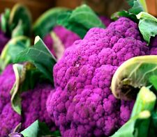 "CAULIFLOWER ""Purple Sicily"" 200 seeds rare UNUSUAL vegetable garden seed"