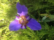 Rare 5' Tall Iris Purple -Blue Flower 2 Months Bloom From Brazil!