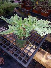 Procumbens Nana Juniper, Bonsai starter plant Evergreen