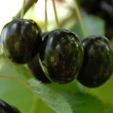 Süßkirsche 'Merton Premier'   1 Jährig,  Kirschbaum, Obstbaum im Topf