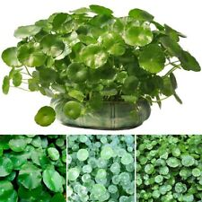 50pcs Pilea Peperomioides Chinese Money Plant Seeds Pancake Shape Plants Seeds