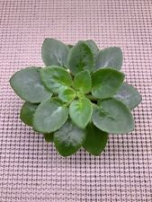 African Violet Plant * Jolly Orchid * Miniature