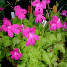Pinguicula mesophytica - rare epiphytic carnivorous plant, orchid companion