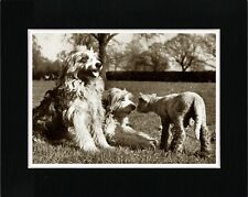 BEARDED COLLIE DOGS AND LAMB LOVELY IMAGE OLD STYLE DOG PHOTO PRINT READY MATTED