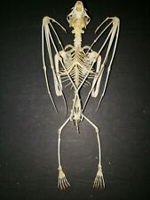 Awesome Huge Bat Skeleton Taxidermy