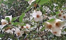 EUCRYPHIA GLUTINOSA  hardy flowering shrub plant,large white flowers