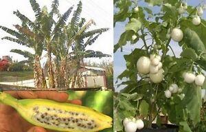 mehrjährig: ständig eigene Früchte ernten: EIERBAUM und RIESEN-BANANE
