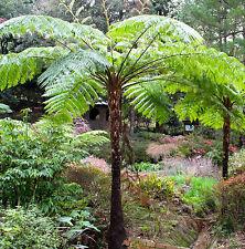 COIN SPOTTED TREE FERN Cyathea cooperi native lacy shade plant in 200mm pot