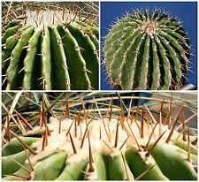 50 Samen der Echinocactus visnaga,Sukkulenten,seeds succulents  G