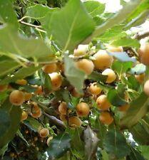 Lotus-Pflaume bewurzelte Jungpflanze bildet Ableger Obst Gemüse frisch vitamine
