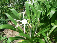 SPIDER LILY BULBS : 8 Medium Bulbs (Plants with leaves & roots) Hymenocallis