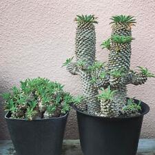 Euphorbia pekinensis Rupr.plants potted Home Garden cactus Plants