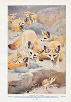 1910 Naturale Storia Double Sided Stampa ~ Fennecs & Gerboa / Marrone Orso